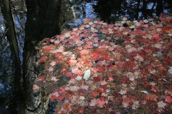 上高地の水の上の落ち葉